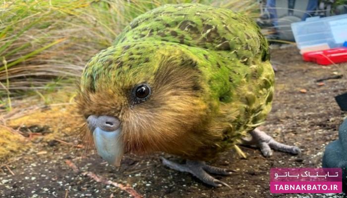 آب و هوا چاقترین طوطیهای جهان را از خطر انقراض نجات داد