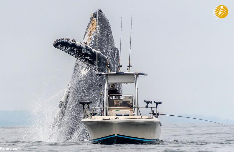 بالا آمدن حیرت انگیز نهنگ گوژپشت +تصاویر