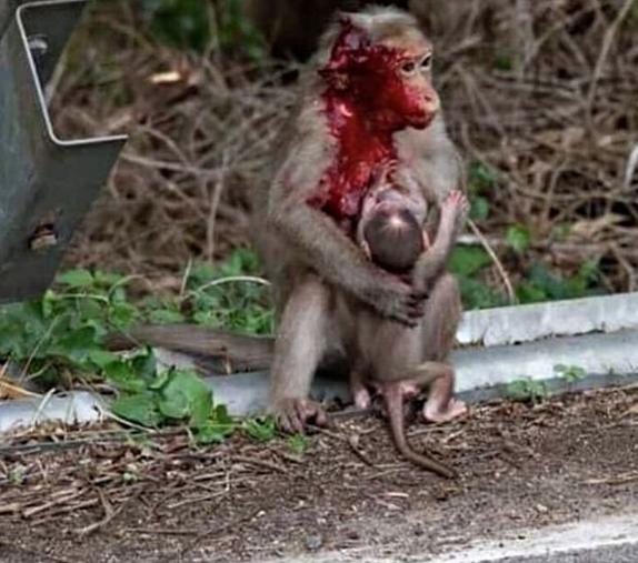تصویری دردناک از مهر مادری یک میمون