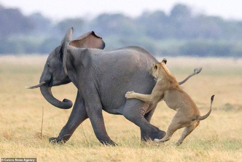 فرار جسورانه بچه فیل از دست شیرهای گرسنه +عکس