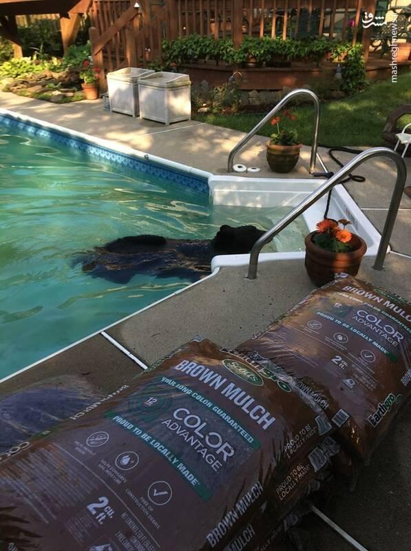 آب تنی خرس در حیاط خانه یک شهروند آمریکایی +عکس