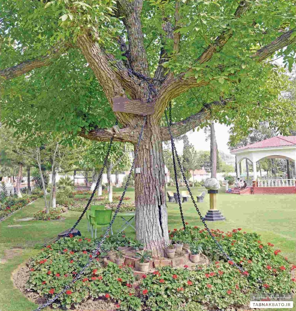 ماجرای افسر انگلیسی که یک درخت را دستگیر کرد!