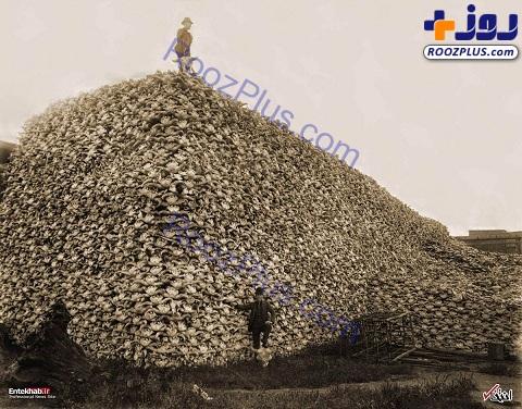 کوهی از جمجمه گاومیش ها+عکس