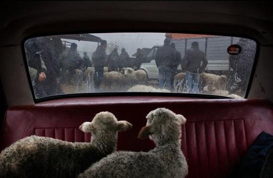 ژست ۲بره روی صندلی عقب ماشین +عکس
