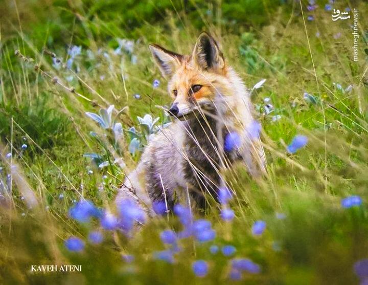 روباه زیبای ایرانی+عکس