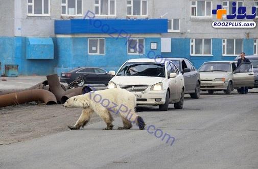 لحظه جالب عبور یک خرس قطبی از خیابان+عکس