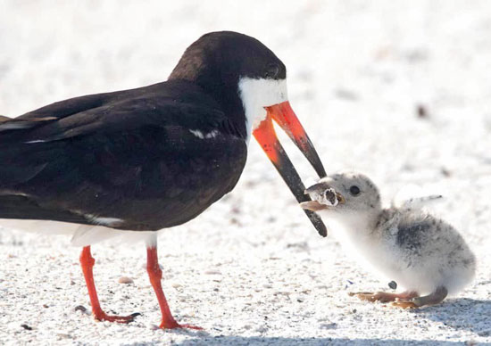 تهسیگار، خوراک جدید پرندگان دریایی+عکس