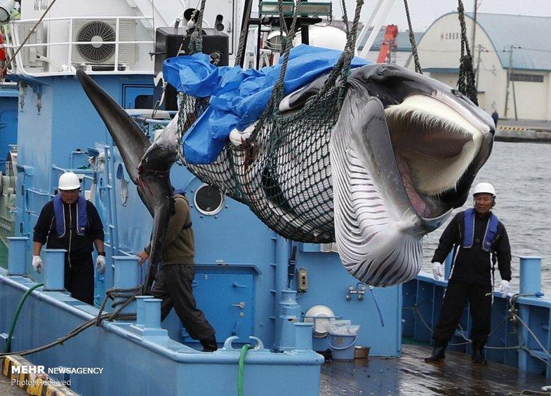 شکار نهنگ در ژاپن +عکس