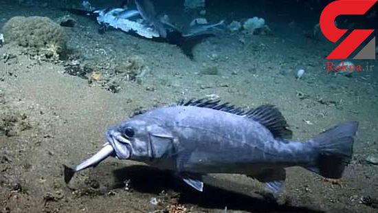این ماهی که کوسه را زنده زنده میخورد +عکس