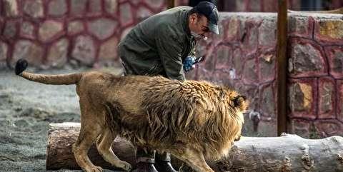 حمله شیر به مدیر باغ وحش در قزوین