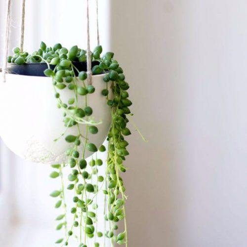 معرفی گیاهان آپارتمانی-سنسیو (رشته مروارید)