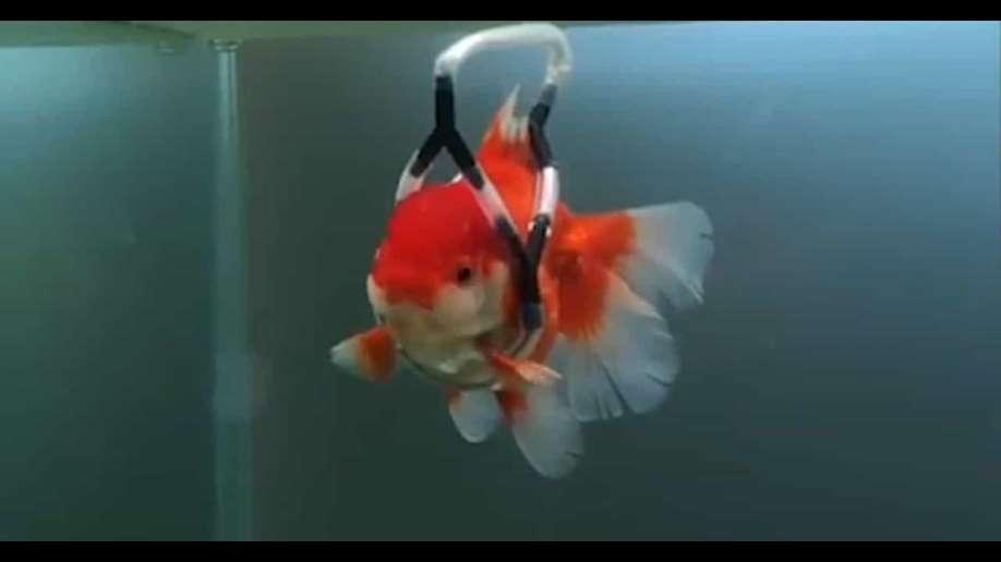 ساخت کمربند محافظ برای ماهی قرمز +عکس