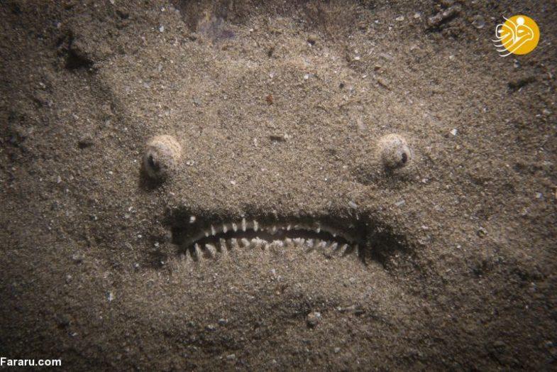 استتار یک ماهی ترسناک +عکس