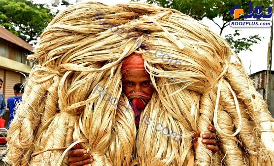 کارگر هندی در حال حمل کنف+عکس