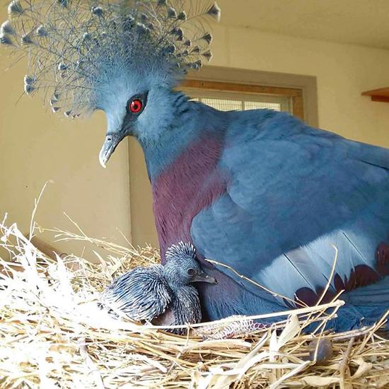 زیباترین کبوتری که تا به حال دیده اید!