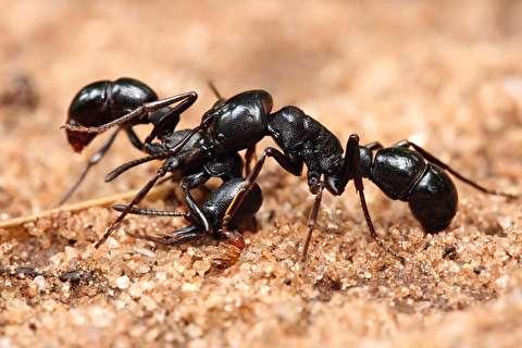 رفتار ژلهای مورچههای سامورایی!