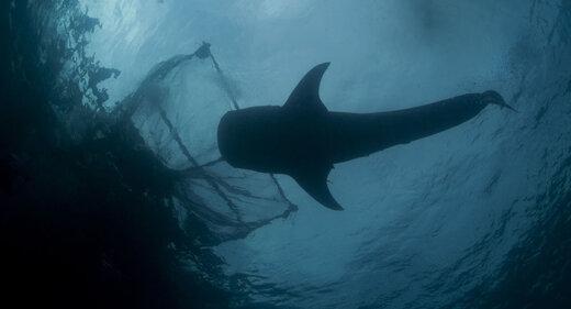 کوسه عتیقه در اقیانوس اطلس شمالی به تور افتاد+عکس