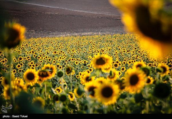 تصاویر دیدنی از مزرعه آفتابگردان در شیروان