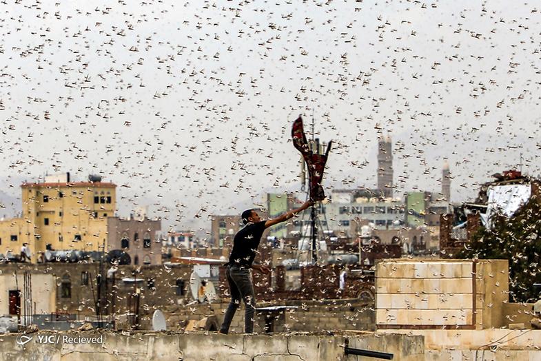 تصاویر عجیبی از  هجوم ملخها به یمن