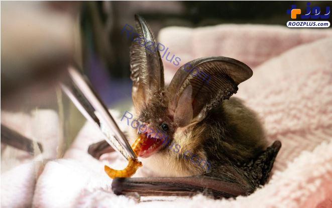تصویری از غذا دادن به یک خفاش مصدوم