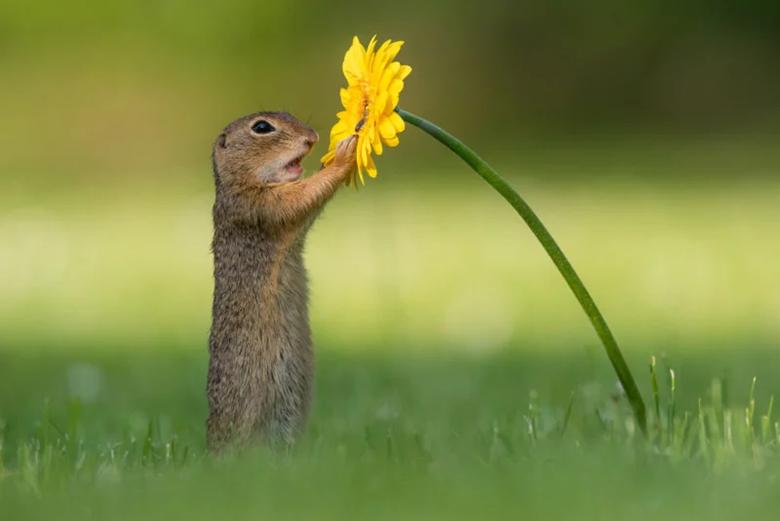 شکار لحظهای استثنایی: تصاویری از بو کشیدن گل زرد توسط سنجاب