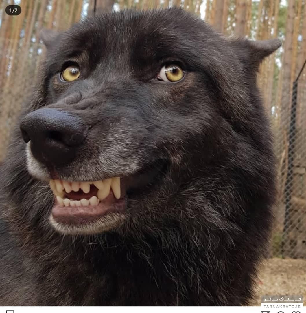 زندگی شگفت انگیز مرد روسی با گرگها