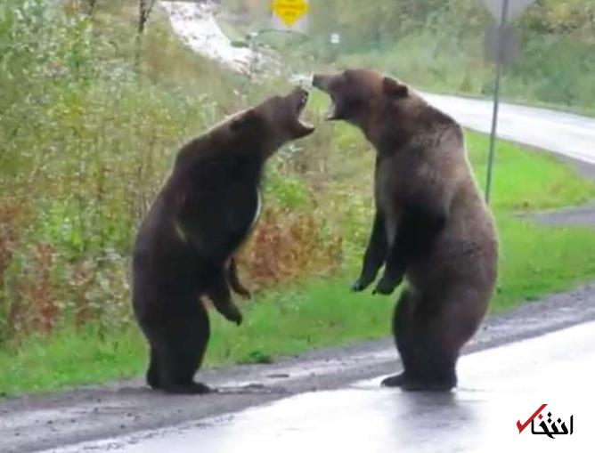 تصویری از دعوای خرسهای گریزلی پربیننده شد +عکس
