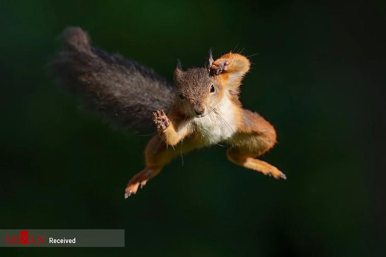 تصاویری از سنجاب قرمز پرنده