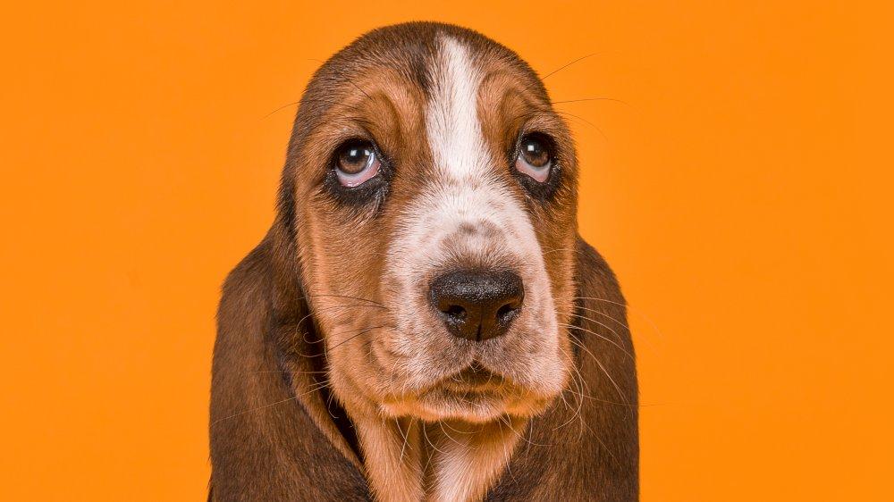 با لاکپشتترین سگهای دنیا آشنا شوید