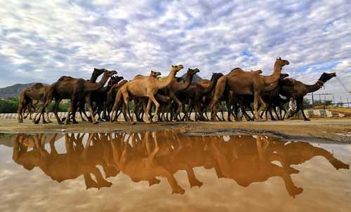 از مسابقه رقص شترها تا سفر ایوانکا ترامپ به مراکش