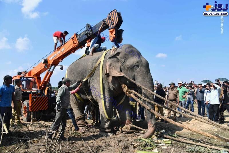 انتقال فیل آدم کُش+عکس