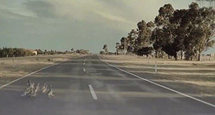 ترمز خودکار خودرو مقابل اردکهای عابر، راننده را متعجب کرد +عکس