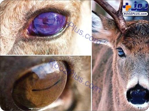 رنگ چشم این حیوان با توجه به فصل عوض میشود +عکس