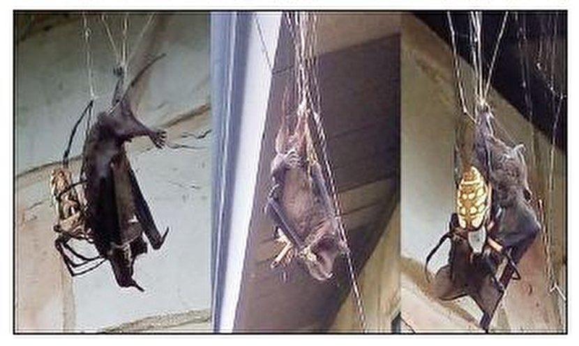خفاشی که شکار یک عنکبوت شد+عکس