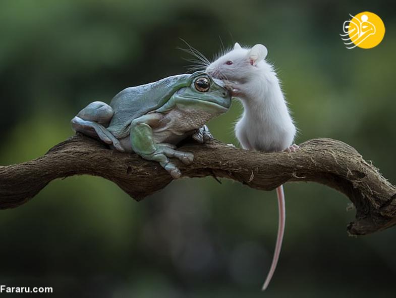 قورباغه موش را نخورد و با آن دوست شد+عکس