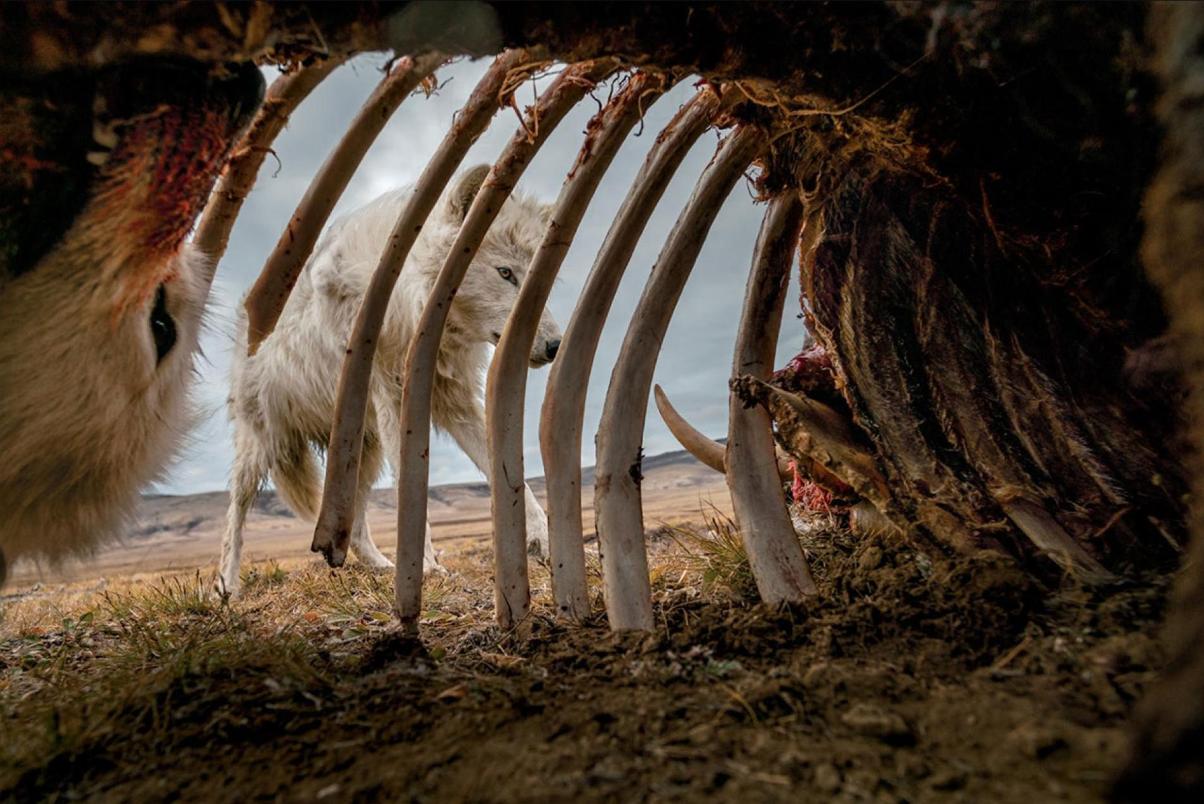 هجوم گرگها به لاشه گاو+عکس