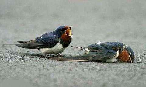 مرگ مشکوک ۳۰۰ پرنده در یک جاده!
