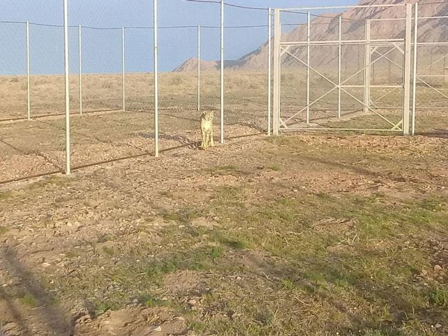 نخستین تصویر از حضور یوزپلنگ ایرانی در توران