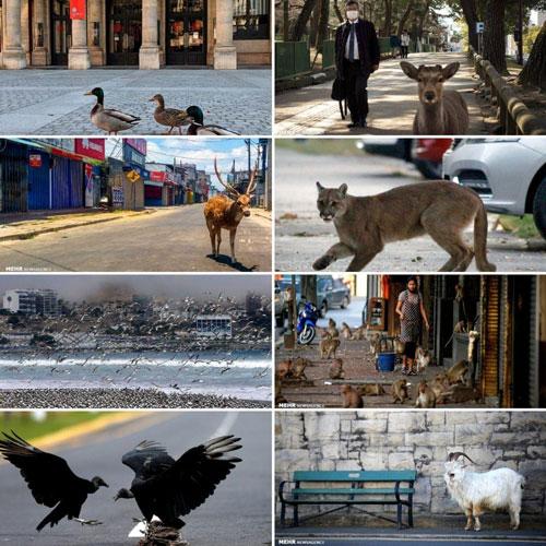 حضور حیوانات در شهرها پس از قرنطینه+عکس