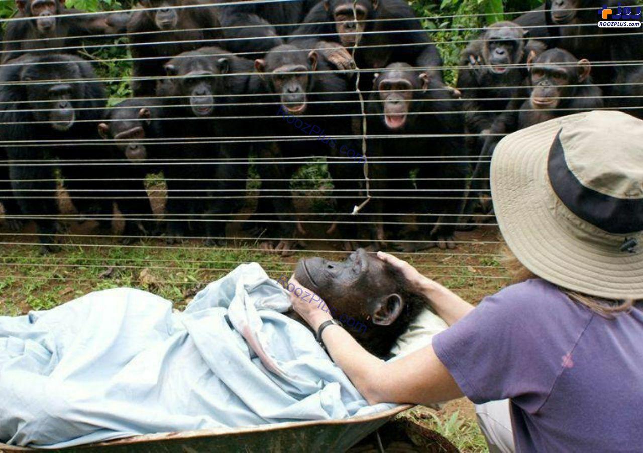 اندوه شامپانزه ها برای از دست دادن شامپانزهای دیگر +عکس