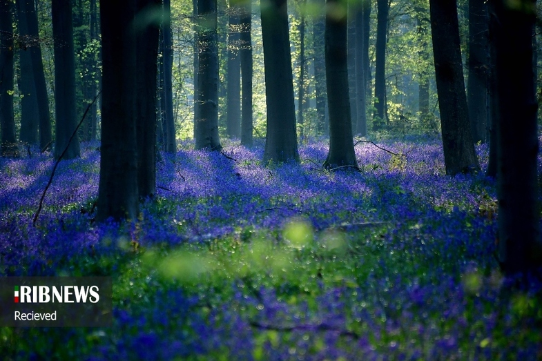 جنگل آبی در کشور بلژیک +عکس