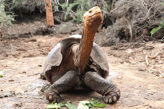 دیگو؛ لاکپشت قهرمان و ناجی لاکپشتهای اسپانولا