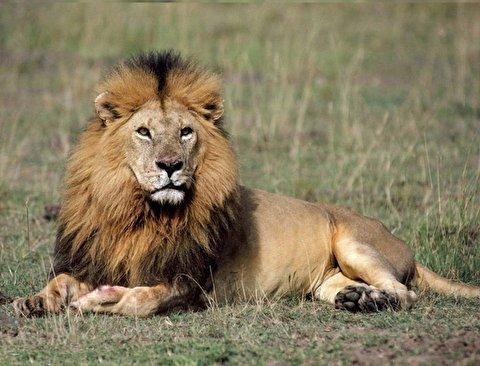 لحظه دلخراش مرگ طبیعی یک شیر در جنگل