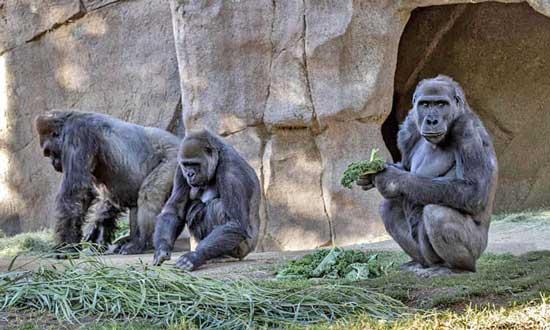 گوریلهای سندیهگو به کرونا مبتلا شدند