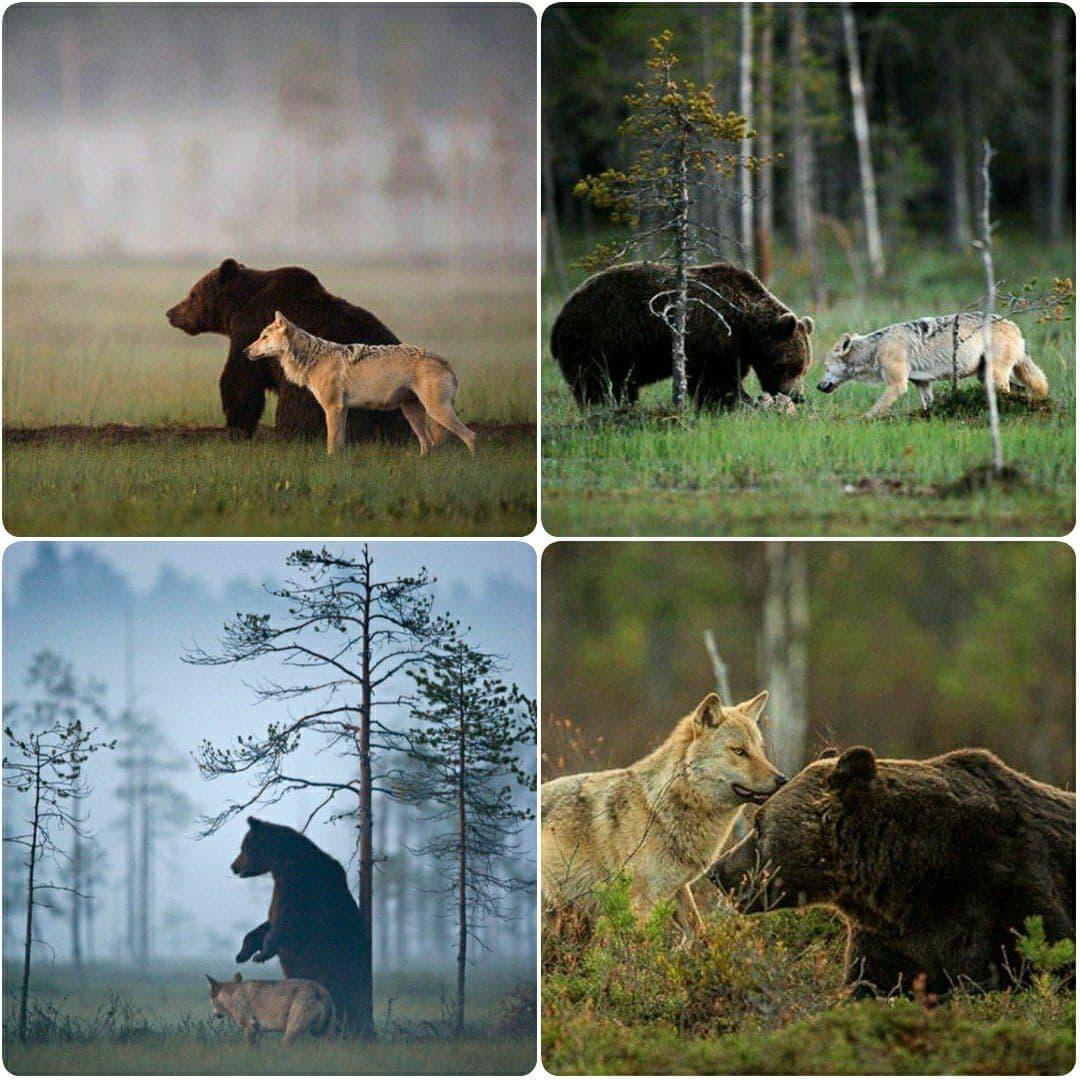 دوستی خرس قهوهای و گرگ خاکستری +عکس