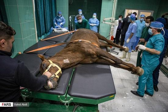 عمل جراحی آب مرواریدِ اسب در ایران +عکس