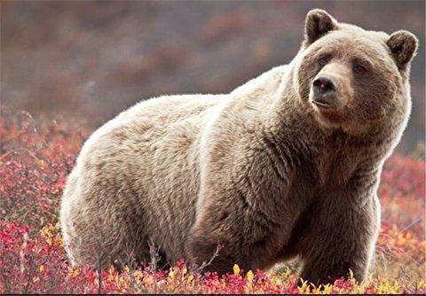 اقدام دیوانه وار یک مرد در غذا دادن به خرس گریزلی