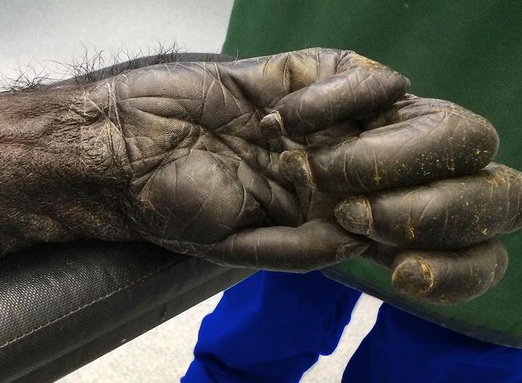 دست یک شامپانزه ۴۰ ساله از نمایی نزدیک