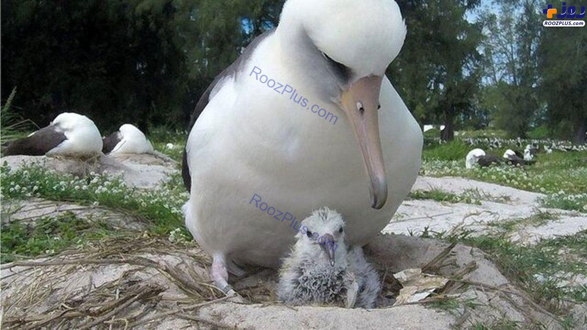 پرنده ۷۰ ساله جوجه آورد +عکس