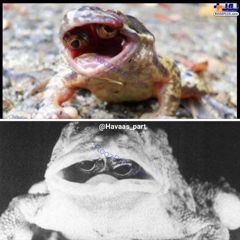 قورباغه عجیبی که چشمش داخل دهانش است+عکس